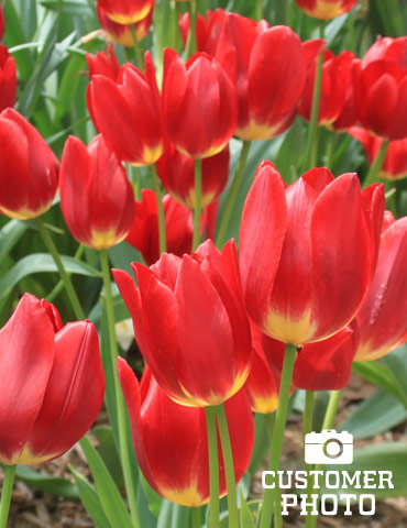 Red Revival Single Early Tulip - 88122