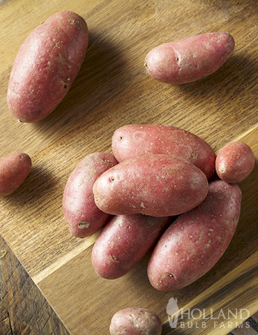 Red Thumb Fingerling Potato seed potatoes, fingerling potato varieties, growing fingerling potatoes in containers, russian banana fingerling potatoes, red thumb fingerling potatoes