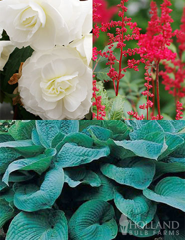 Red, White and Blue Shade Garden shade garden combinations, shade garden ideas, adding color to shade, big daddy hosta, fanal astilbe, white begonias