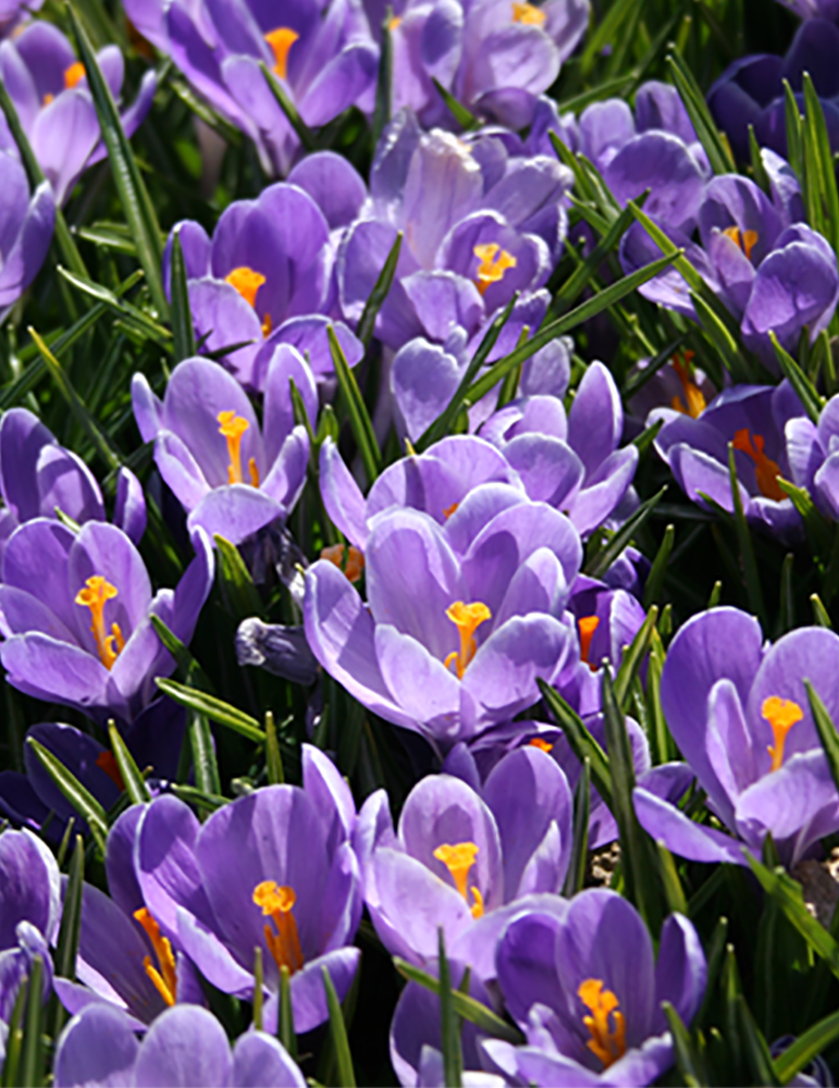 Remembrance Crocus