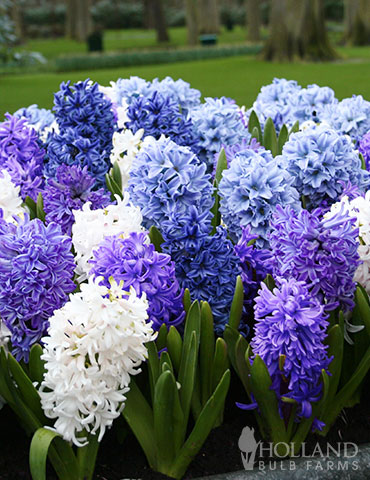 Rhapsody in Blue Hyacinth Mix hyacinth mix, hyacinth color, hyacinth bulbs when to plant, how long do hyacinths bloom, hyacinth bulbs for forcing, blue star hyacinth, hyacinth mix