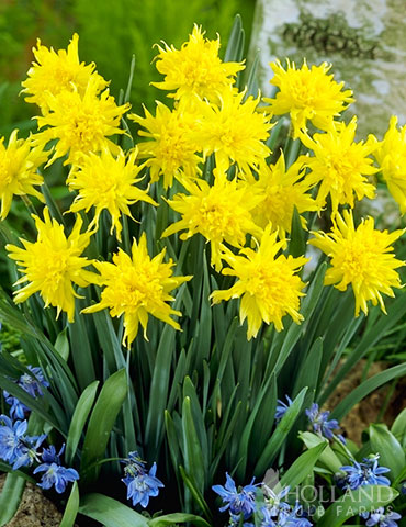 Rip Van Winkle Daffodil Jumbo Bag rip van winkle daffodil, tete a tete daffodil, bulk daffodil bulb, cheap daffodil bulbs, wholesale daffodils, bulk bulbs online, buy daffodil bulbs, bulk daffodils for sale, bulk flower bulbs cheap