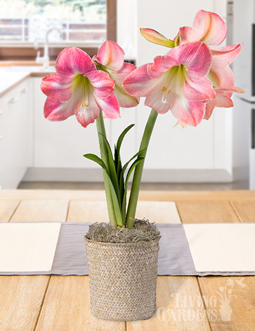 Rosy Delight Amaryllis Potted Bulb Garden