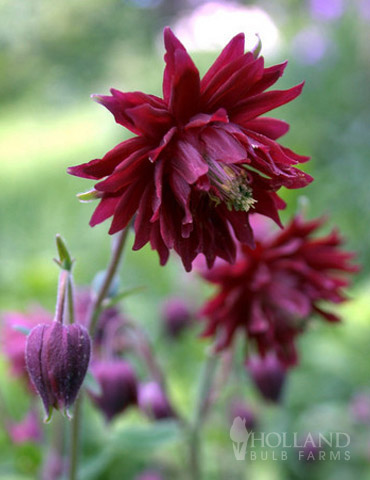 Ruby Port Columbine