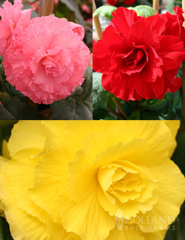 Ruffled Begonia Collection