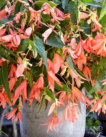 San Francisco Begonia Begonia Bolivienses San Francisco