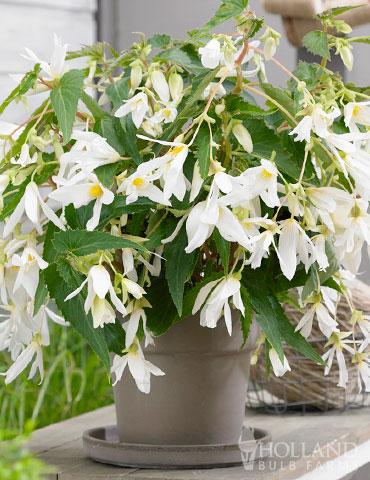Santa Barbara Begonia Begonia Boliviensis Santa Barbara