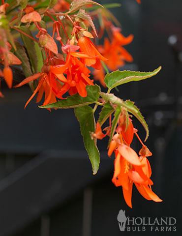 Santa Cruz Begonia Begonia Boliviensis Santa Cruz