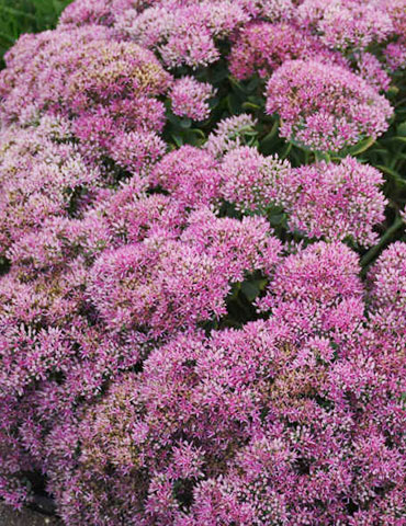 Powderpuff Sedum