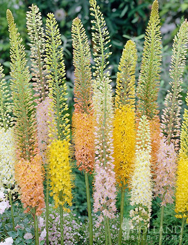 Shelfords Hybrid Mix Foxtail Lily