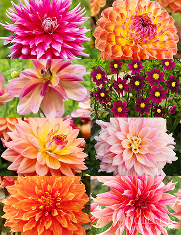 Shimmering Sunset Dahlia Collection dinnerplate dahlias, decorative dahlias, living coral, pantone color of the year, shimmering sunset, ice cube dahlia, frost nip dahlia, dark butterfly dahlia, lakeland autumn dahlia, mrs eileen dahlia, extase dahlia, miniature purple dahlias.