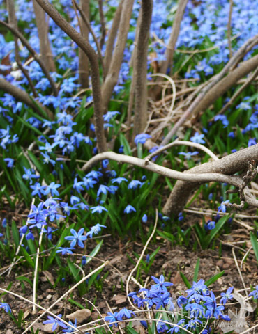 Siberian Squill or Scilla - 83124