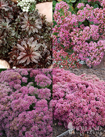 Sizzling Sedum Sampler Collection