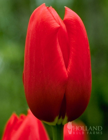 Sky High Scarlet Single Late Tulip