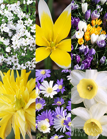 Small Wonders Garden Collection ground cover bulbs, crocus bulbs for sale, flower bulb deals, best place to buy bulbs online, grape hyacinths, dwarf daffodils