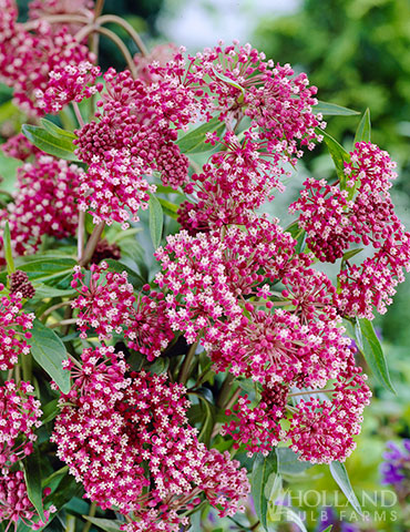 Soulmate Swamp Milkweed swamp milkweed, butterfly weed care, soulmate butterfly flower care, attracting butterflies to your garden, asclepias incarnata, pink butterfly weed, butterfly weed pink, best plants for butterflies, best plants to attract butterflies