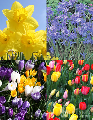 Spring Beauty Garden Collection tulips for sale, daffodils for sale, crocus for sale, blooms all spring, spring blooming flowers, bulbs to plant in fall, bulbs you plant in fall