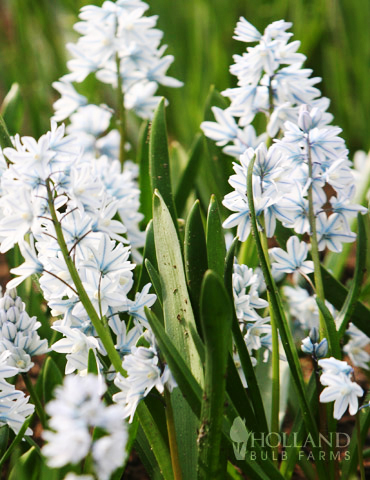 Striped Squill Jumbo Pack