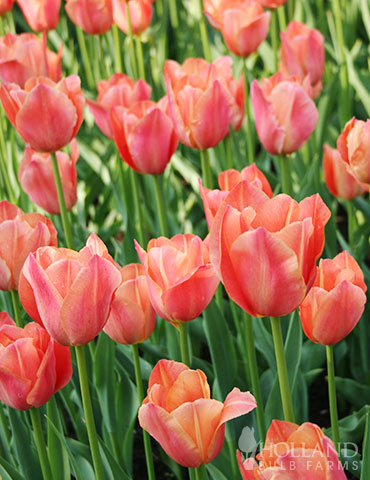 Stunning Apricot Single Early Tulip - 88117