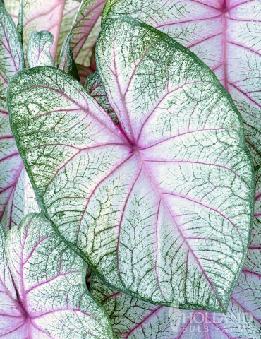 Summer Breeze Caladium - 72137