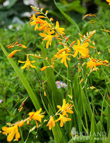 Sunglow Crocosmia