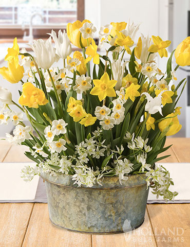 Sunny Side Potted Bulb Garden indoor bulb garden, potted bulb gardens, potted bulb garden, bulb gardens for delivery, daffodils for indoors