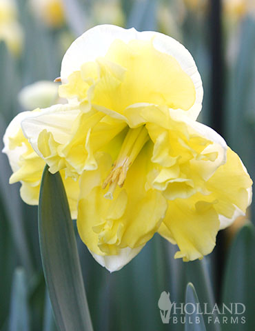 Sunny Side Up Daffodil