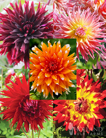 Sunset Dahlia Collection