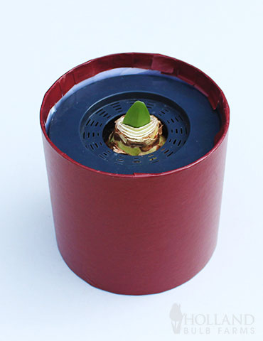 Bi-Colored Potted Amaryllis Gift Box - Burgundy Round - 92221