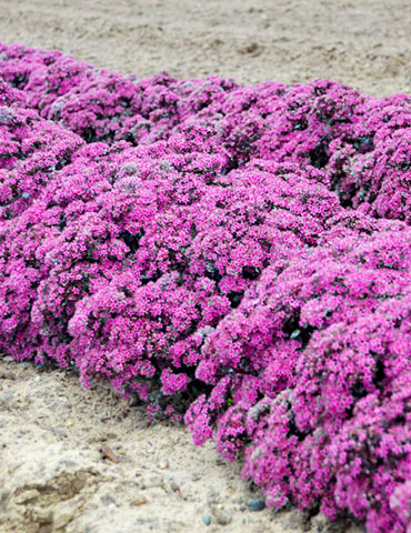Superstar Sedum