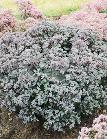 Superstar Sedum - 74113