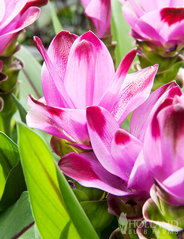 Sweet Rosy Curcuma Curcuma plant for sale, curcuma bulbs, curcuma plant sun or shade, easy bulbs to grow, red curcuma, siam plan, siam tulip care