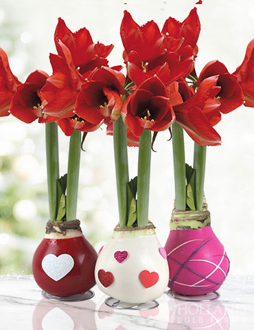 The Sweetheart Waxed Amaryllis Collection (3-Pack) The Sweetheart Amaryllis Holiday Collection, 3 Best Selling Wax-Covered Bulbs, Unique Holiday Decor and Gifts