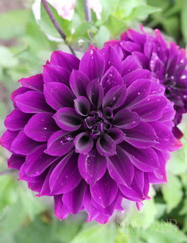 Thomas Edison Dinnerplate Dahlia