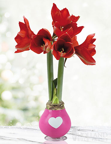 Tickled Pink Waxed Amaryllis