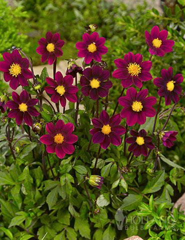 Top Mix Purple Miniature Dahlias - 74148