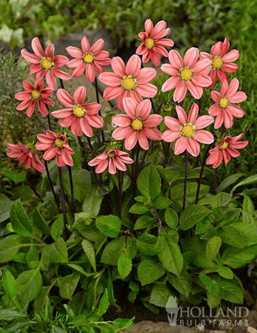 Topmix Salmon Dahlia Dahlias For Sale Growing Dahlias In Pots