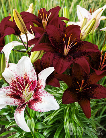 Tribal Tattoo Asiatic Lily Blend asiatic lily, types of lilies, asiatic lily bulbs, lily bulbs wholesale, lily hybrids, asiatic lily perennial, perennial lily types