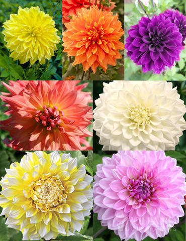 Ultimate Dinnerplate Dahlia Collection