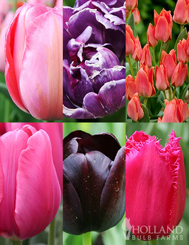 Unicorn Dreams Tulip Garden Collection