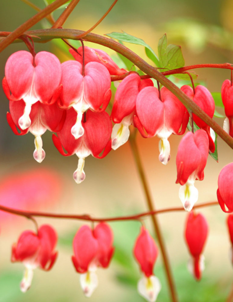Valentine Red Bleeding Heart