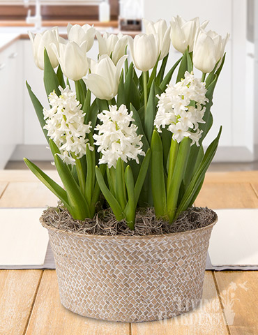 Vanilla Dream Potted Bulb Garden Indoor bulb garden gifts, bulb gardens for indoor growing, potted bulb garden gifts, hyacinths for indoors, tulips for indoors, indoor flower bulb kits, tulips in pots, hyacinths in pots