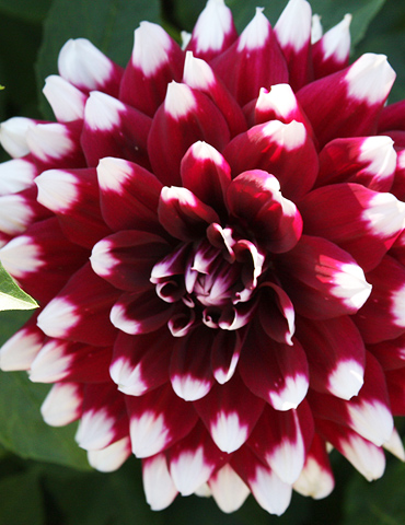 Verdi Glory Patio Dinnerplate Dahlia