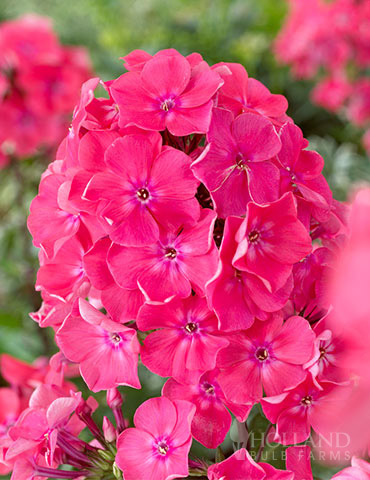 Watermelon Punch Tall Phlox