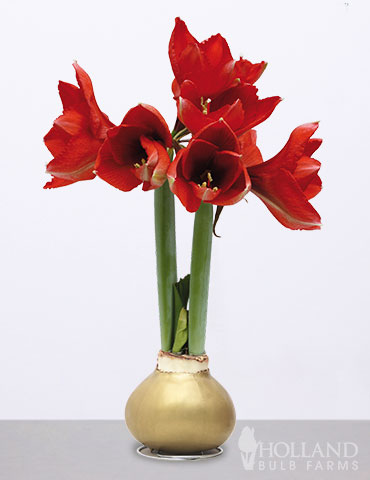 Wax Amaryllis Gold Base