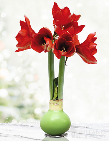 Hope Waxed Amaryllis