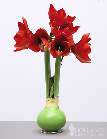 Wax Amaryllis Green Base