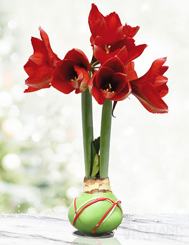 Green Picasso Base Waxed Amaryllis - 92164