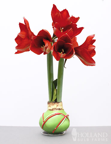 Wax Amaryllis Green Picasso Base