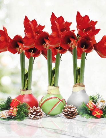 Holiday Waxed Amaryllis Collection (3-Pack) Waxed Amaryllis Holiday Collection, 3 Best Selling Wax-Covered Bulbs, Unique Holiday Decor and Gifts